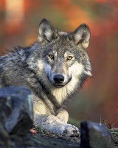 Torna il lupo in Salento, avvistate coppie stabili