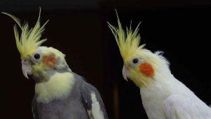 Come addestrare un pappagallo Calopsite
